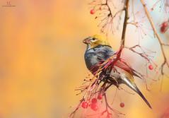 Durbec des sapins - Pine grosbeak ♀ (Maxime Legare-Vezina) Tags: bird oiseau nature wild wildlife animal fauna ornithology biodiversity canon fall automne
