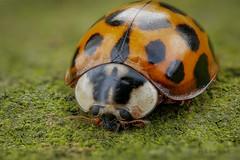 Marienkfer (Coccinellidae) auf einer Natursteinmauer (AchimOWL) Tags: marienkfer postfocus lumix panasonic natur nature kfer insekt insect tier tiere animal makro macro gx80 dmcgx80 raynox lebensmittel ngc macrodreams olympus ladybird