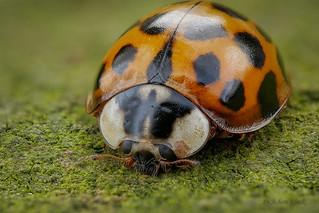 Marienkäfer (Coccinellidae) auf einer Natursteinmauer