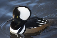 Hooded Merganser (Glenn Pye) Tags: hoodedmerganser birds bird martinmere wwt nature wildlife nikon nikond7200 d7200