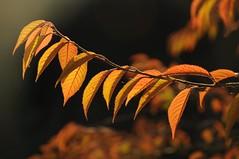 Golden hour (Suzanne Hamilton) Tags: autumn hampsteadheath pergola