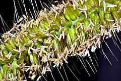 grass seeds (donjuanmon) Tags: sliders slidersunday hss grass seeds donjuanmon green yellow