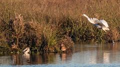 Silberreiher (Great White Egret) in Abflug (oliver_hb) Tags: silberreiher reiher stockente vögel polderglies