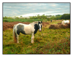 Watching me go By (Audrey A Jackson) Tags: panasonicdmctz3 horse chasewater staffordshire bracken autumn 1001nightsmagiccity
