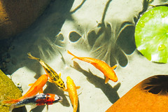 Relax!!! (Andr Moecke) Tags: fish goldeen carpas carps carp lake