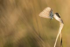 """""""Révérence"""" (regisfiacre) Tags: papillon butterfly schmetterling insect insecte bugs argus azuré macro nature 100mm canon 7d mark ii meadow prairie summer eté"""