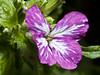 Flor. (cachanico) Tags: olympus e30 zd35 35mm flash nissin di466 nissindi466 difusor flor flores flowers flower fleur fleurs fiore fiori daroca zaragoza cachanico
