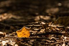 The last one has fallen (Petr Skora) Tags: les list strom nature forest leaf leaves orange yellow autumn fall macro