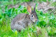20161125-LRC25382.jpg (ellarsee) Tags: rabbit flickr bunny laselvabeach california unitedstates us