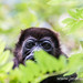 Portrait of a howler monkey