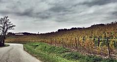 (Cristina Birri) Tags: collio viti friuli udine autunno autumn