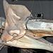 Physeter macrocephalus (sperm whale) (Wrightsville Beach, North Carolina, USA) 7