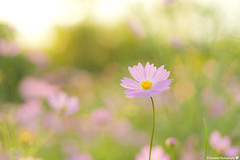 2016 Cosmos  (SYU*2) Tags: cosmos color nikon flower love beautiful colors cute green flowers d800 pastel nikoor autumn soft photography pink dreamy japan forest  light