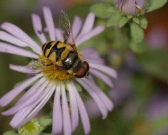 Transverse Flower Fly (cotinis) Tags: insect diptera hoverfly syrphidae eristalinae eristalis eristalistransversa northcarolina piedmont sigma150mmexdgf28macro fridayflyday
