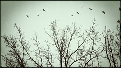 ...flying with the wild birds... (***toile filante***) Tags: trees bume birds vgel wild free nature natur emotions poetic soulful poetisch darkcolors