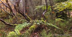 Northumberland Jungle 2 (anicoll41) Tags: woodland bracken trees castlehill northumberland neengland
