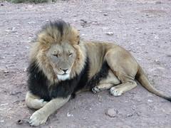 Lwe_5 (@ FS Images) Tags: lwe langemhne liegend rudelfhrer canon eos 600d outdoor landschaft natur raubtier rudel sdafrika safari tiere lwen