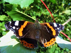 Butterfly 1093 (+400000 views!) Tags: butterfly borboleta farfalla mariposa papillon schmetterling