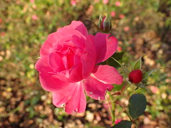 Still blooming... (Christa_P) Tags: nature flowers flora fall blumen blüte blossom rose pink outdoor herbst autumn