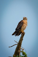 Red-shouldered Hawk Portrait (BobHartmannPhotography) Tags: bobhartmann bobhartmannphotography hartmann landscape bird birds nature bbobhartmann everglades bobhartmanncom wildlife 365 fl usa