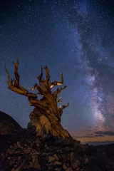 The Ancient One (Eric Gail: AdventureInFineArtPhotography) Tags: bristleconeforest ancientbristlecone ancient ericgail adventureinfineartphotography canon6d canon stars mikyway sky tree nightscape astrophotography