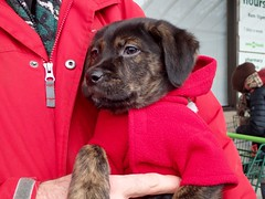 This Is Q ... (I Flickr 4 JOY) Tags: q puppy rescue rescuepuppy rescuedog manitoba manitobarescue red dogcoat puppycoat squamish cuddle