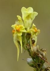 Yellow Toadflax (Linaria vulgaris)