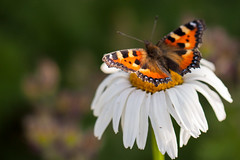 Butterfly on ox-eye daisy (Margerite) (roland_zink) Tags: flower butterfly germany hessen natur deu neuanspach