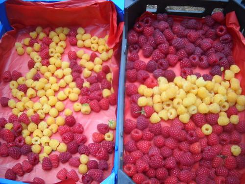 Sarah picking Samples Red & Gold Raspberries Nabeh El safa c Jun 12, 2015