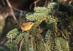 Common Yellowthroat (jd.willson) Tags: nature birds yellow island bay wildlife birding maine jd common throat penobscot willson yellowthroat islesboro jdwillson