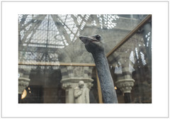 Ostrich (Pictures from the Ghost Garden) Tags: history birds reflections nikon natural 28mm taxidermy ostrich oxford museums naturalhistorymuseum oxfordshire voigtlnder colorskopar d7100