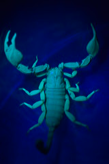 Turquoise (Leela Channer) Tags: blue light black france nature glass animal closeup glow arachnid uv turqouise bowl scorpion torch creature arthropod uvlight