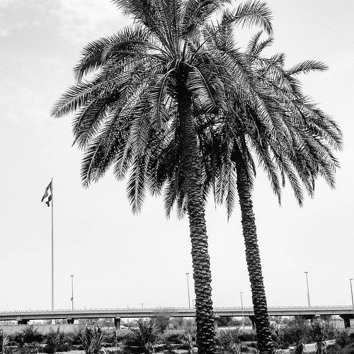 Maybe date palms don't like to be hugged.  #LifeinSharjah #sharjah #datepalms #uaeflag #oldies