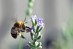 47 (Roberto Gramignoli) Tags: insettoinvolo insetti animali fly insect