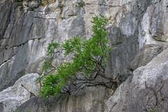 Clinging to the cliff (tmeallen) Tags: sea tree green rock bay long small crack vietnam environment ha unescoworldheritage harsh stacks limestonecliffs
