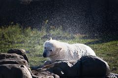 BLIJDORP20151001_©arievantilborg-9667 (Arie van Tilborg) Tags: blijdorp polarbear ijsbeer rotterdamzoo ijsberen arievantilborg