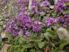 Frühblühender Thymian (Thymus praecox) - Laugavegur - Trekking auf Island