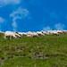 Sheep between earth and sky