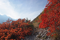 couleurs d'automne photo 2 (luka116) Tags: automne suisse paysage wallis octobre valais 2015 cotinuscoggygria turtmann arbustre getwing cotinusgoggygria