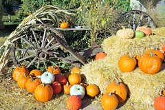 Pumpkin Time (Patricia Henschen) Tags: canoncitycolorado colonorchard fall autumn orchard pumpkins color leafpeeping aspen colorado usroute50