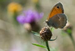 Le Procris - Coenonympha pamphilus f.lyllus (michel lherm) Tags: papillons coenonymphapamphilus lpidoptres rhopalocres leprocris