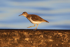 Spotted Sandpiper (gregpage1465) Tags: park bird nature photography photo texas greg wildlife picture houston page spotted sandpiper shorebird spottedsandpiper gregpage actitismacularius deussen