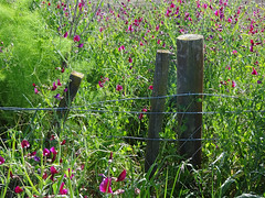 Old Embankment Road (Home Land & Sea) Tags: newzealand fence spring nz wildflowers napier pointshoot sonycybershot hawkesbay sweetpeas hff fencedfriday homelandsea dschx100v oldembankmentroad