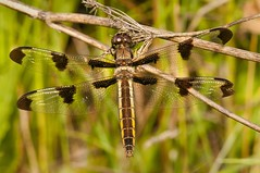2015 Twelve-spotted Skimmer (Libellula pulchella) (DrLensCap) Tags: county railroad chicago abandoned robert forest bug way insect spur fly illinois dragon pacific dragonfly district union cook trails right il trail rails to preserve kramer weber skimmer libellula pulchella twelvespotted