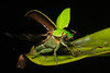 Takeoff of the Jewel (antonsrkn) Tags: wild mountains macro green nature wet beautiful animal night forest photography fly flying leaf high ecuador wings nikon pretty open action wildlife altitude flash small flight shell conservation jungle andes cloudforest nikkor biology takeoff province jewel drizzly scarab zoology entomology coleoptera carapace eloro rutelinae montane coleopteran jewelscarab chrysina ruteline