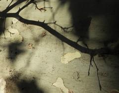 Shadows (II) (Elisa1880) Tags: shadow italy rome roma tree plane italia branch schaduw italie tak plataan