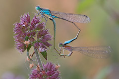 Make love, not war (Michel Couprie) Tags: flower macro love nature fauna canon insect eos dof bokeh depthoffield michel damselfly insecte damsel couprie ef10028lmacro