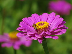 Pink Zinnia with Bee (Shelley Huang) Tags: nature sunshine insect bee pinkflower zinnia   qiaotou
