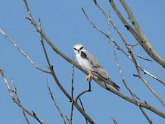 White-tailed Kite - Texas by SpeedyJR (SpeedyJR) Tags: nature birds texas wildlife kites nationalwildliferefuge nwr whitetailedkite anahuacnationalwildliferefuge anahuacnwr chamberscountytexas speedyjr ©2015janicerodriguez