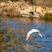 Heron flying over the water